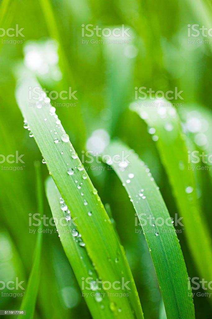 wet green grass stock photo