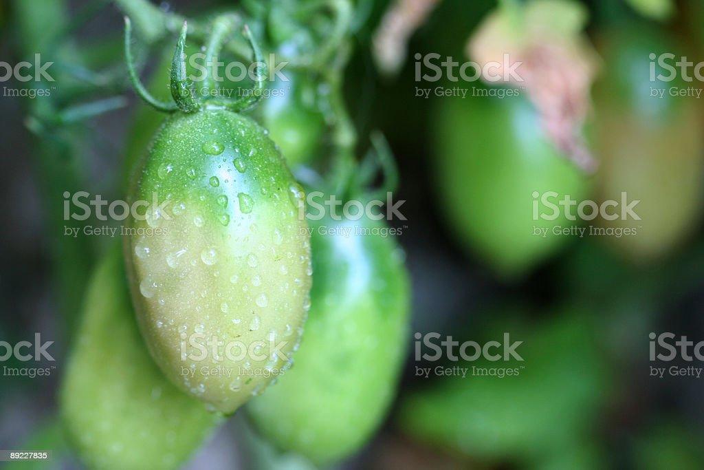 Wet Green Tomato royalty-free stock photo