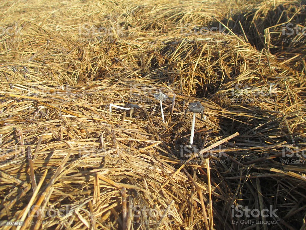wet hay after rice harvest royalty-free stock photo