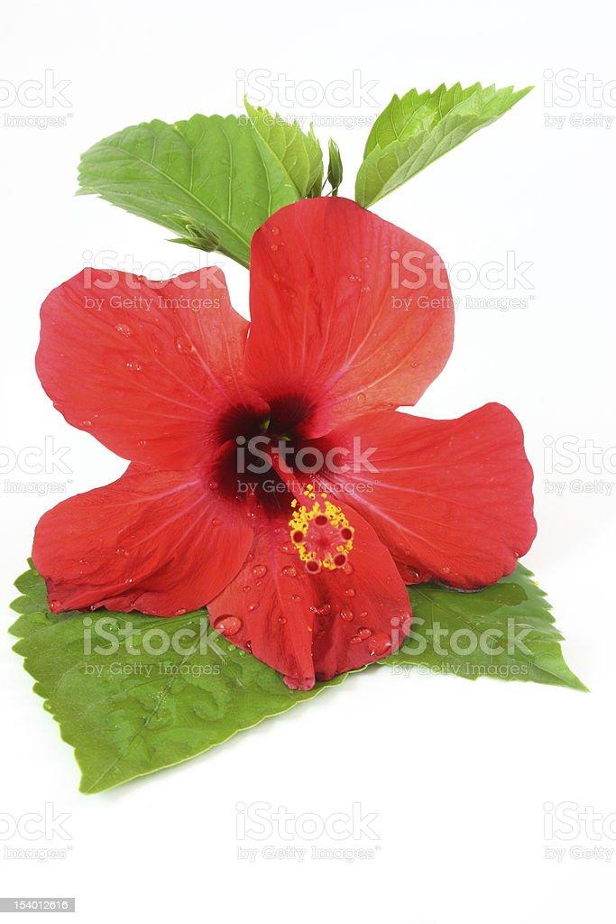 Wet hibiscus royalty-free stock photo