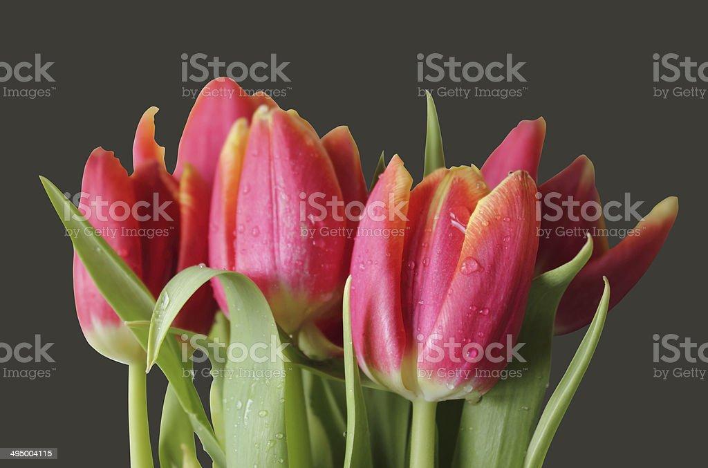 wet isolated tulips stock photo