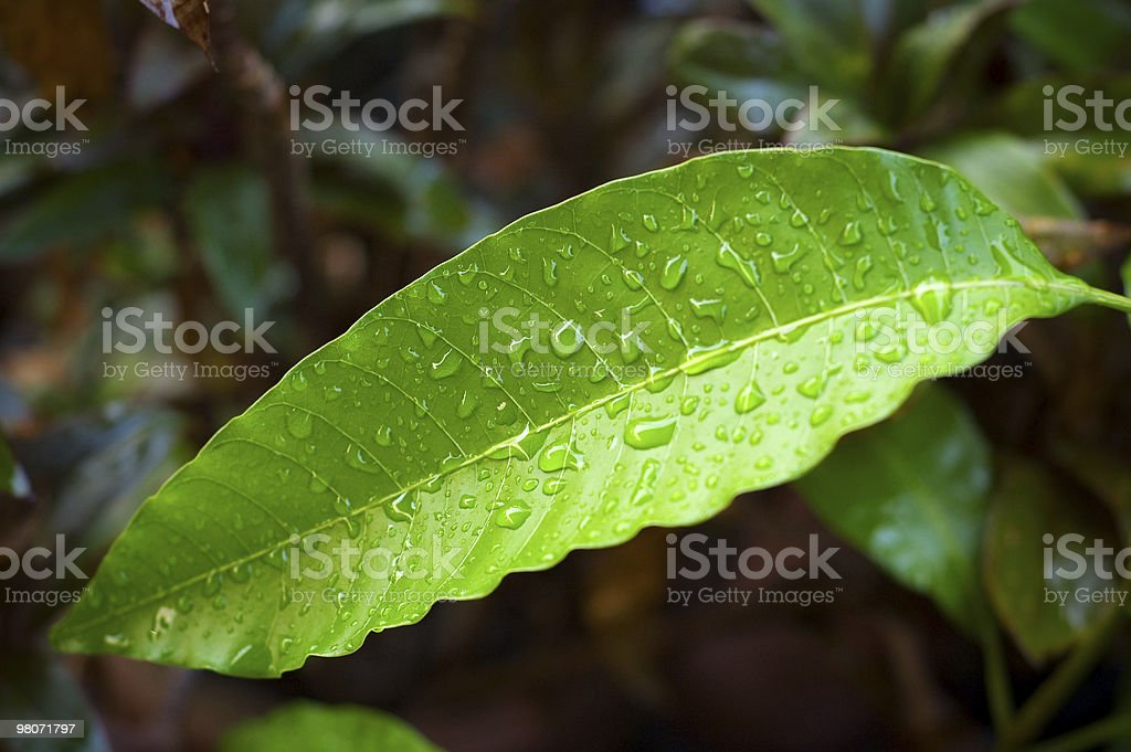 Wet Leaf In The Rain Forest (with clipping path) royalty-free stock photo