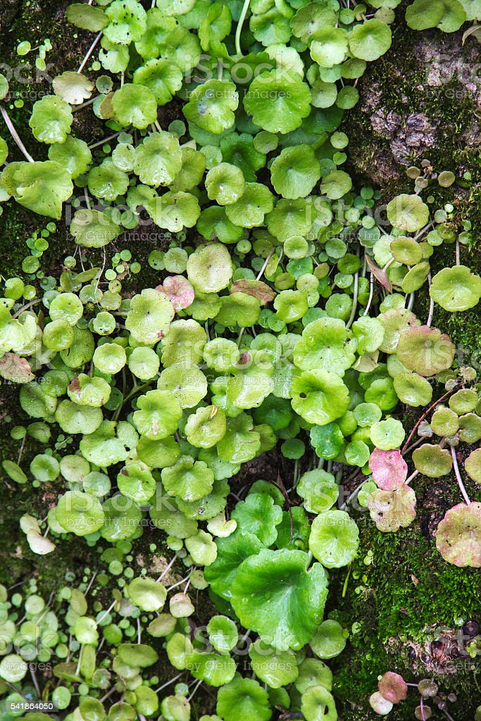 wet leaves and water drops on moss stock photo