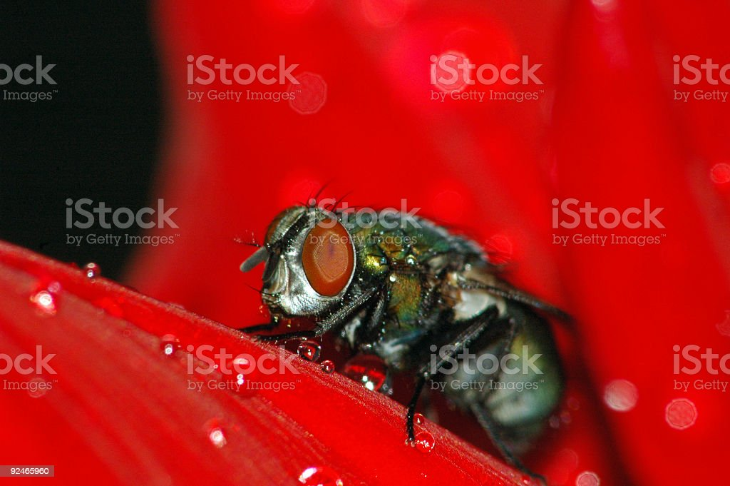 Wet Macro Housefly on Red royalty-free stock photo
