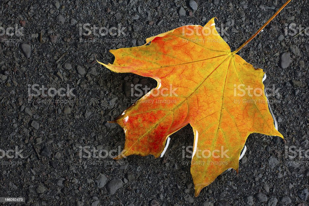 Wet maple leaf on the asphalt royalty-free stock photo