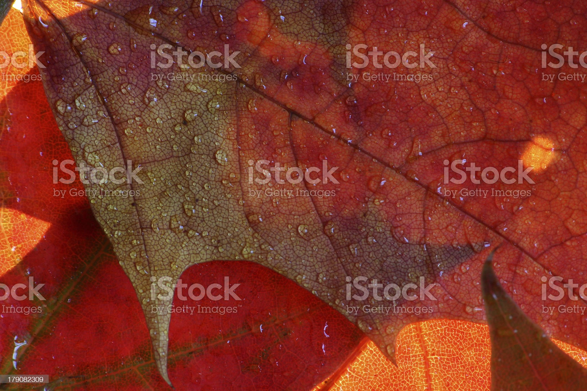 Wet maple leaves royalty-free stock photo