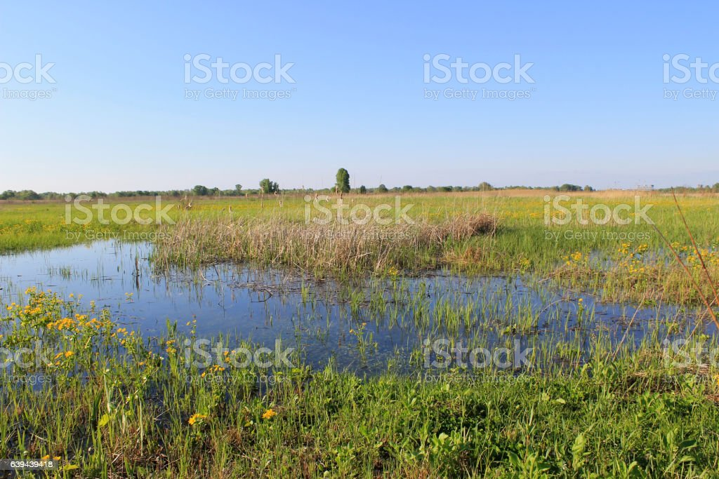 Wet meadow with marsh marigolds stock photo