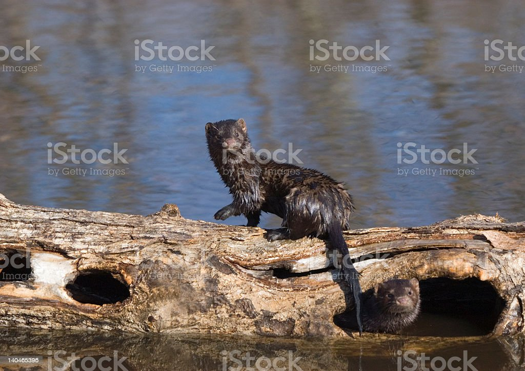 A wet mink on a log by a river stock photo