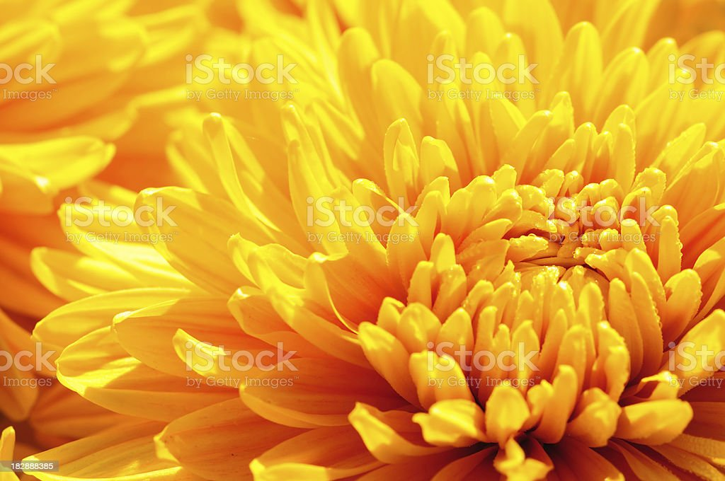 Wet orange Chrysanthemum stock photo