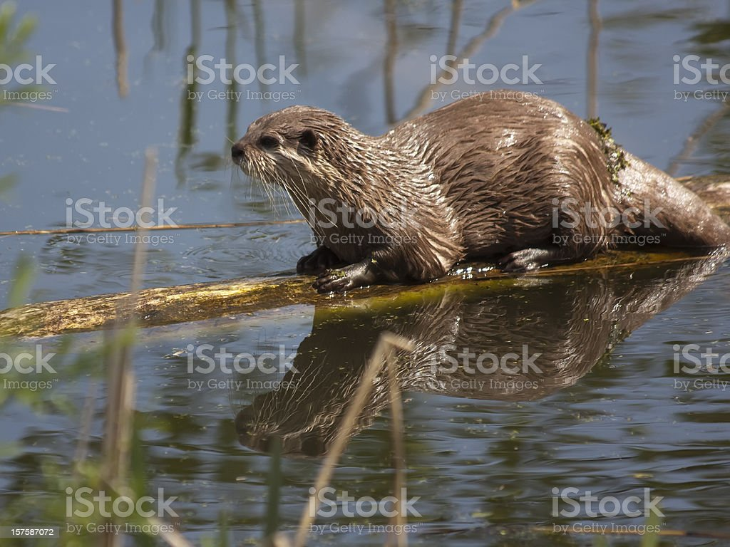 Wet otter resting on a floating log stock photo