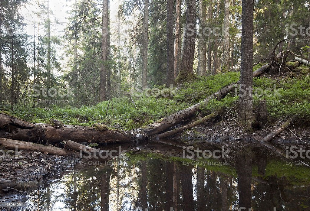 Wet part of natural forest, excellent conditions for mosquitoes stock photo