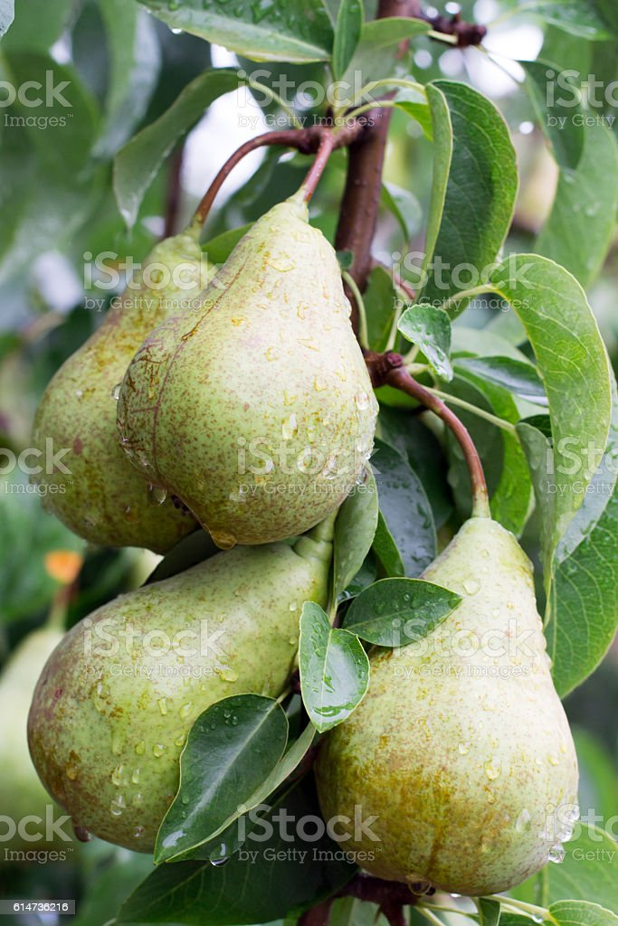 wet pear on a tree stock photo