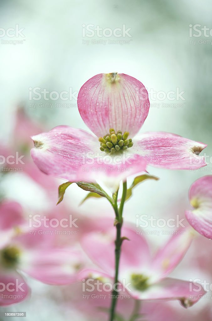 Wet pink dogwood flower in early morning light royalty-free stock photo