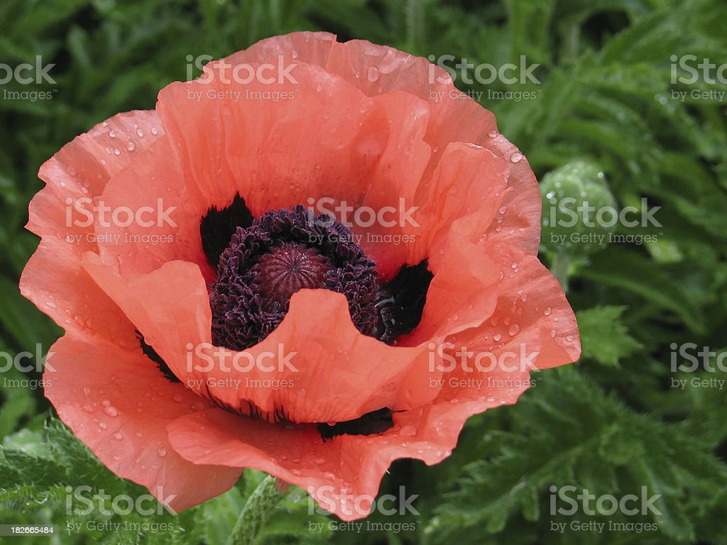 Wet poppy royalty-free stock photo