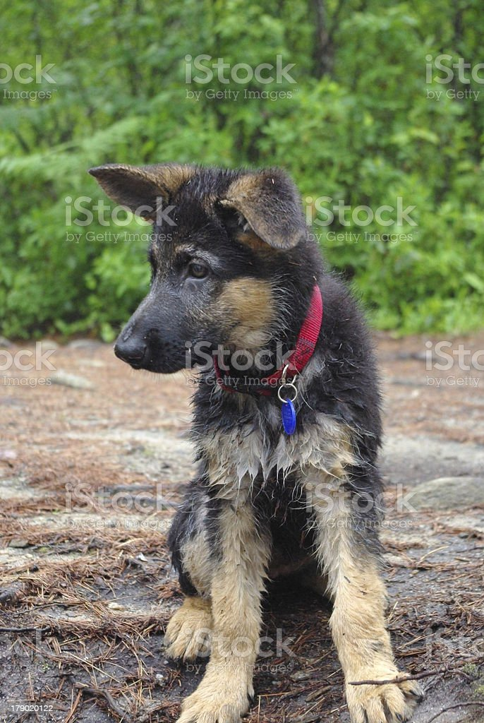 Wet Puppy royalty-free stock photo
