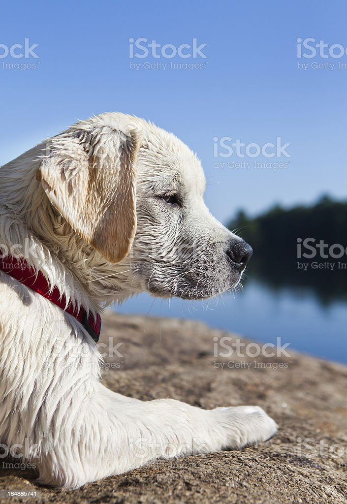 wet puppy stock photo