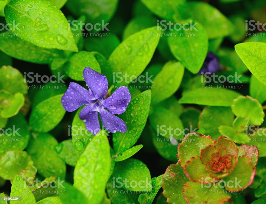 Wet Purple Flower in Green Leaves stock photo