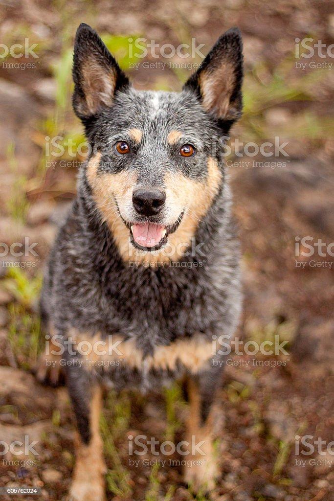 Wet Queensland Blue Heeler stock photo