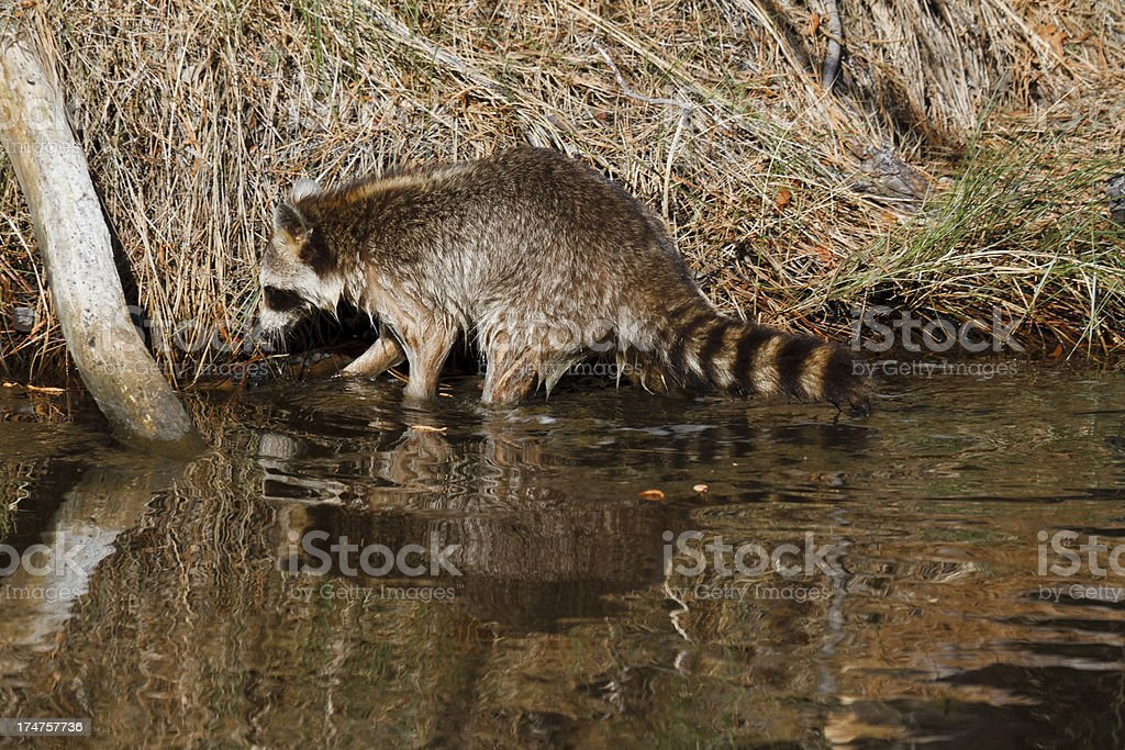 Wet Racoon Foraging for Food stock photo