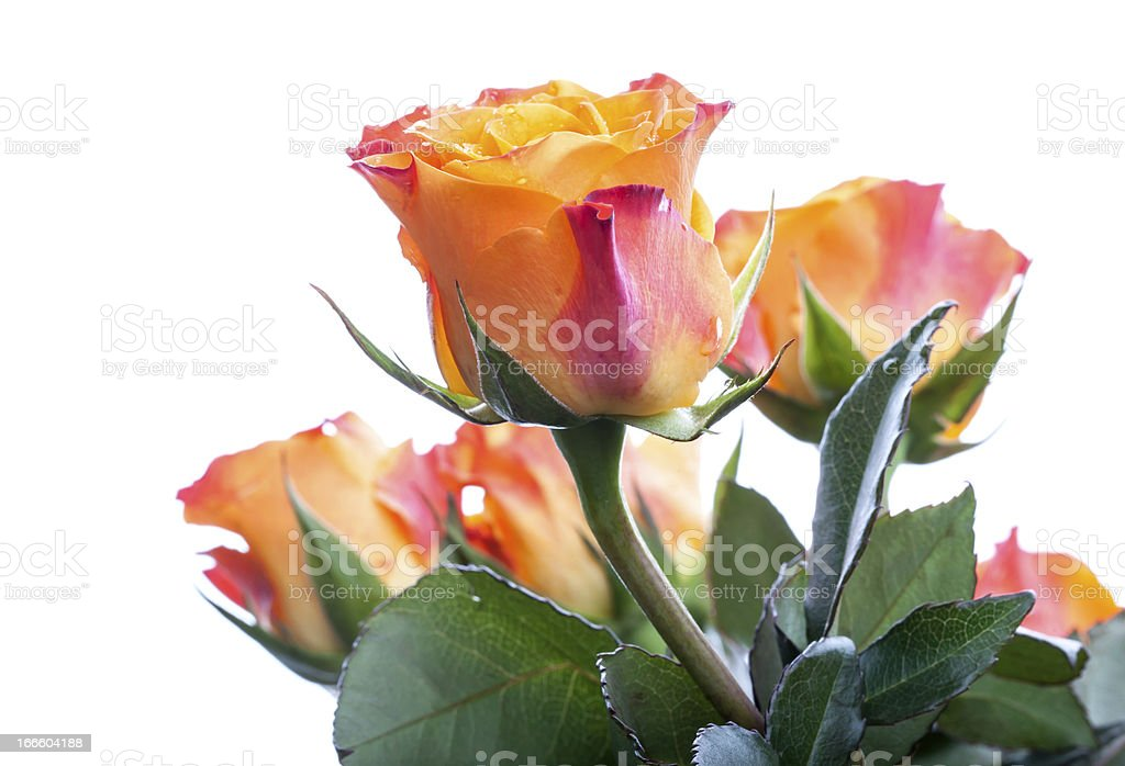 Wet red and yellow rose flowers isolated on white royalty-free stock photo