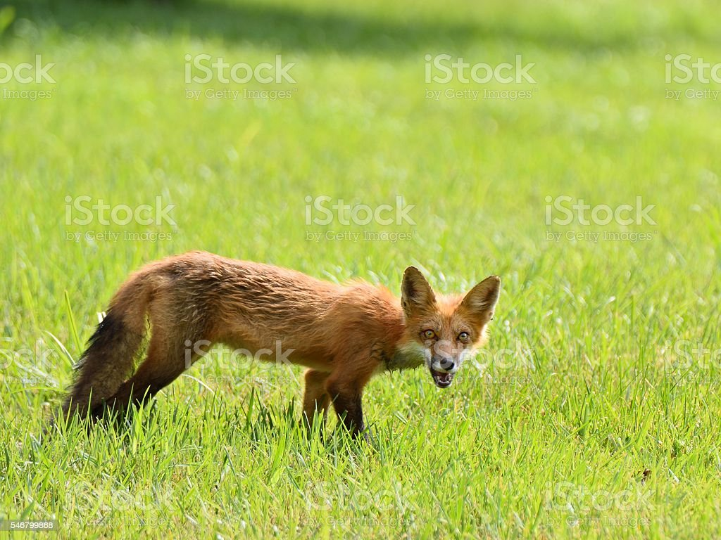 Wet Red Fox Looking at Camera stock photo