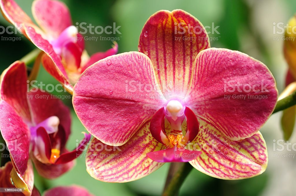 Wet red orchid royalty-free stock photo