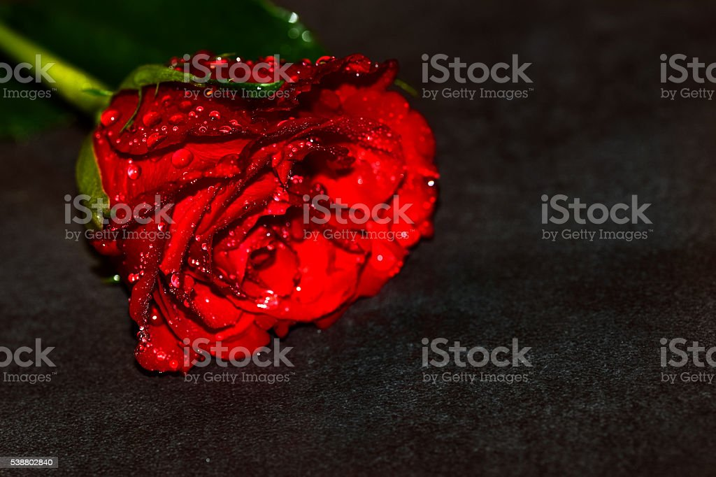 Wet Red Rose stock photo