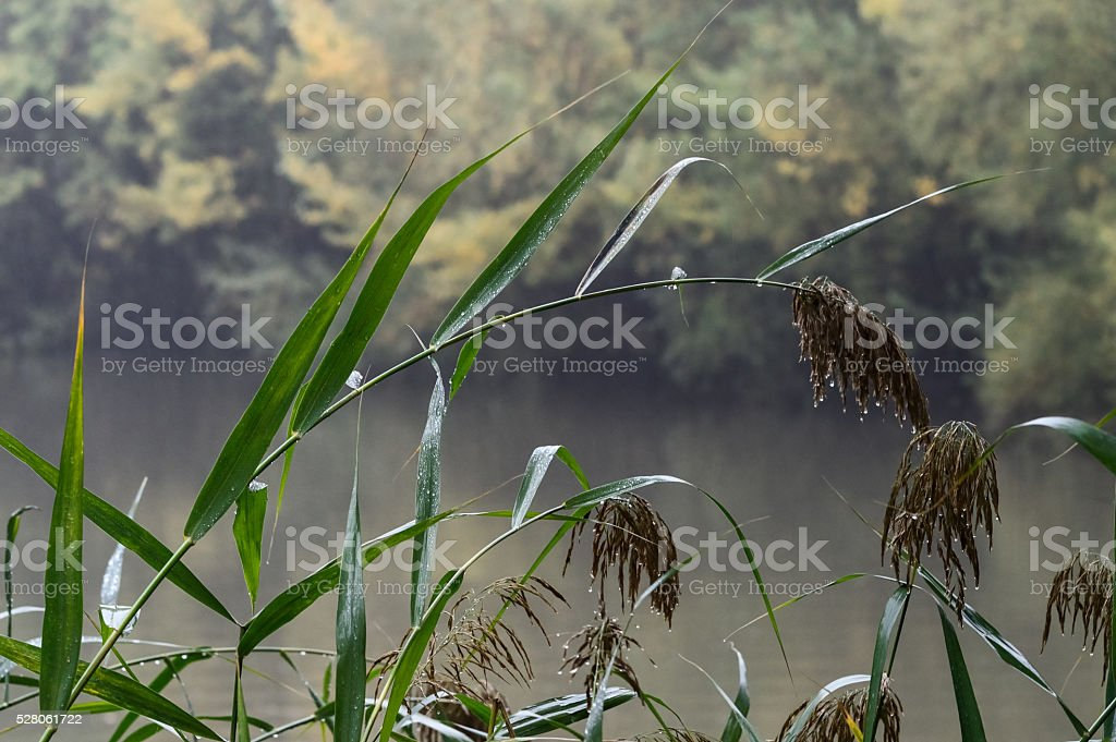 Wet reed waterfront stock photo