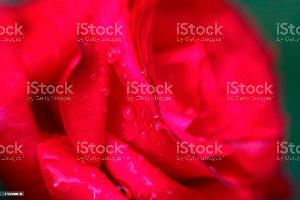 Wet Rose royalty-free stock photo