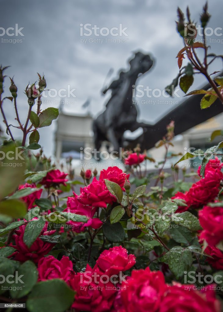 Wet Roses and Barbaro Statue stock photo