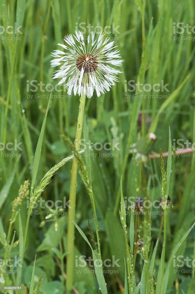 Wet Single Dandelion stock photo