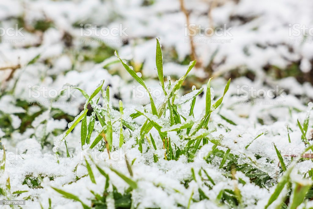 Wet snow on the green grass in winter stock photo