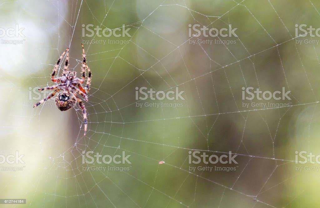 wet Spide walking on spider web stock photo
