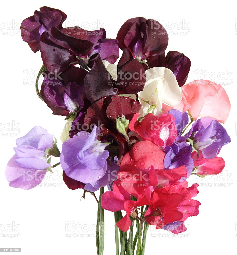Wet sweet pea bouquet royalty-free stock photo