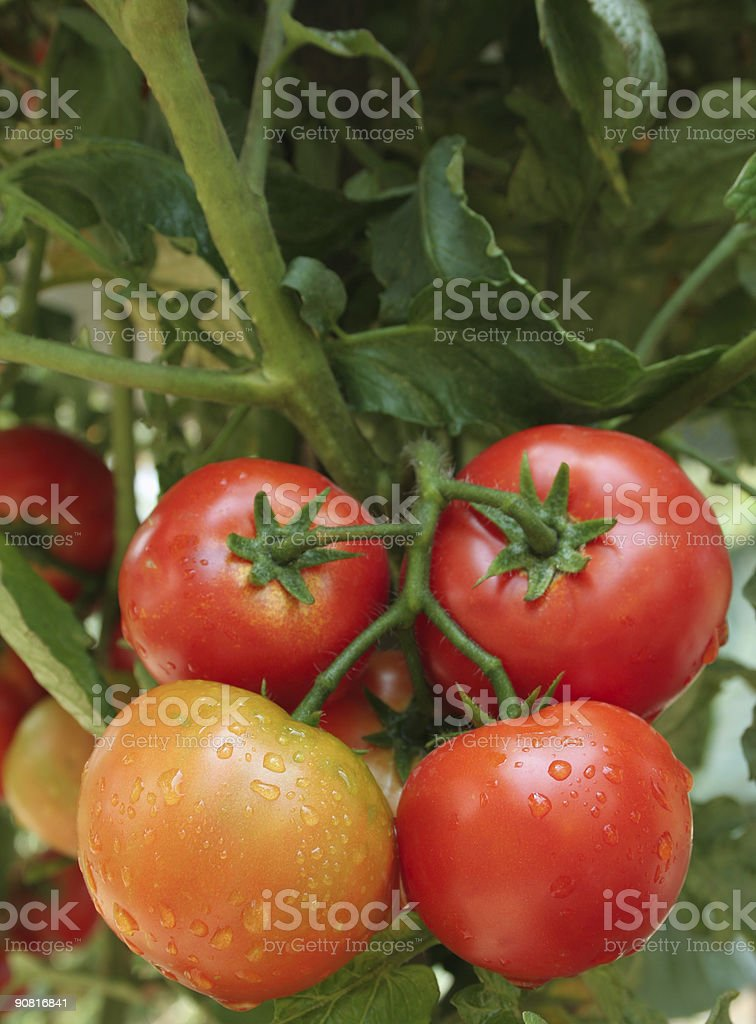 wet tomatos vertical royalty-free stock photo