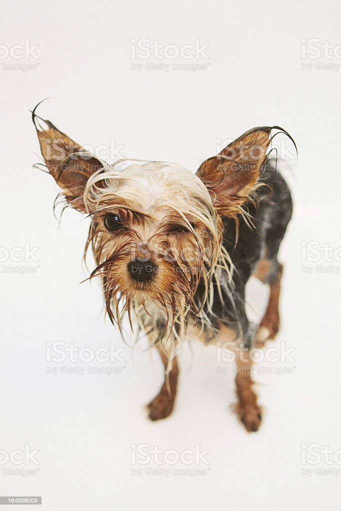 Wet unhappy Yorkshire Terrier royalty-free stock photo