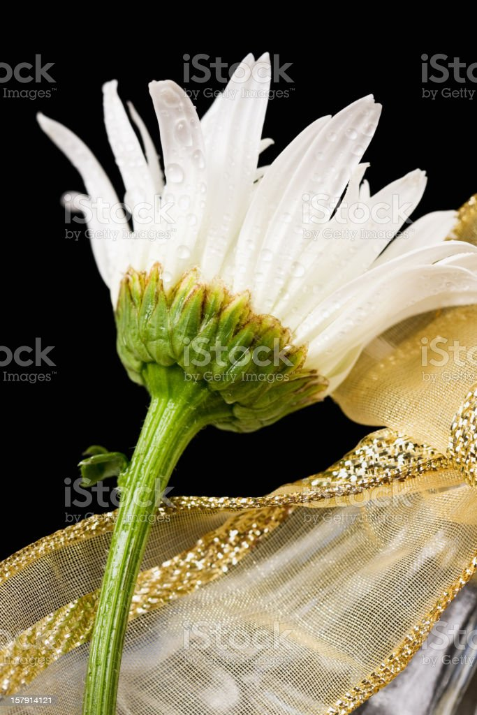 Wet White Daisy - Vertical royalty-free stock photo