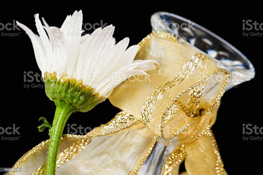 Wet White Daisy with Gold Ribbon Vase royalty-free stock photo