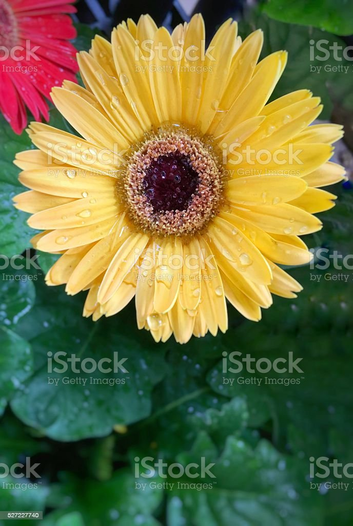 Wet yellow Gerbera daisy stock photo