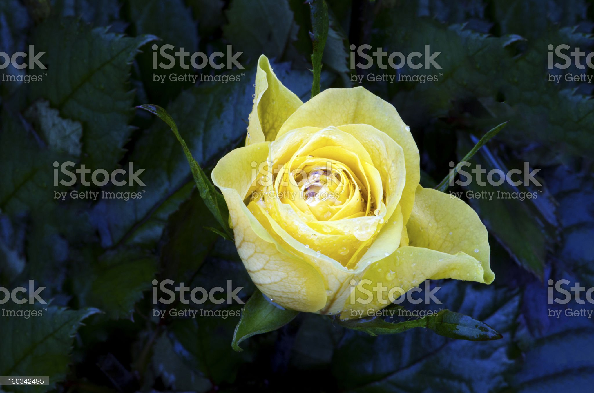 Wet Yellow Rose on a dark background royalty-free stock photo