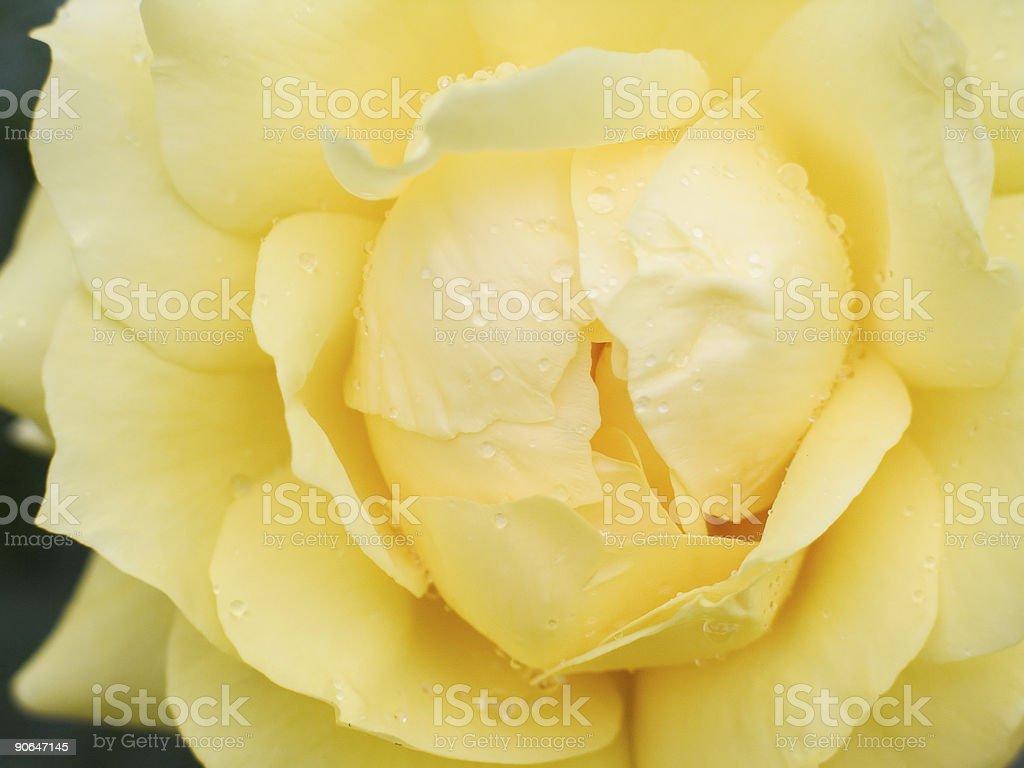 wet yellow rose royalty-free stock photo