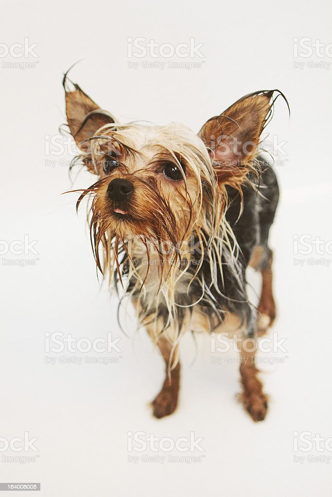 Wet Yorkshire Terrier royalty-free stock photo