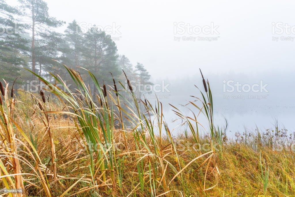 Wetland in fog with Bulrush stock photo