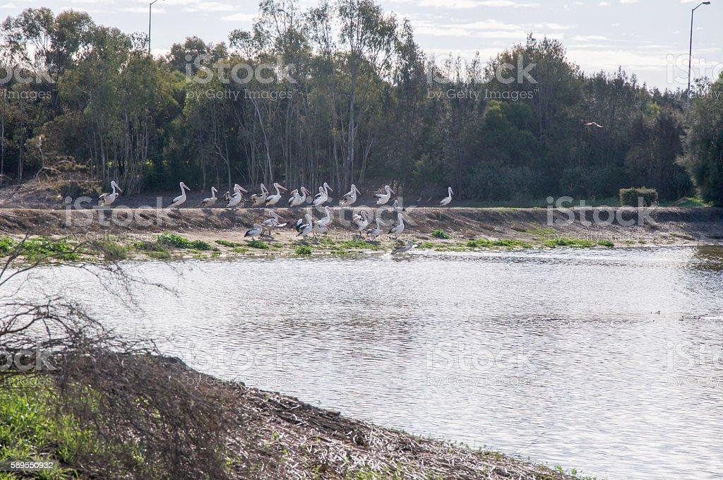 Wetland Pelicans stock photo