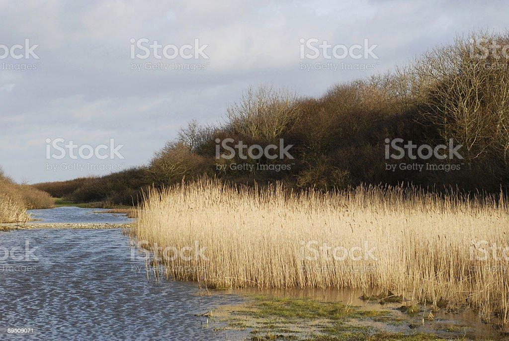 Wetland Rush royalty-free stock photo