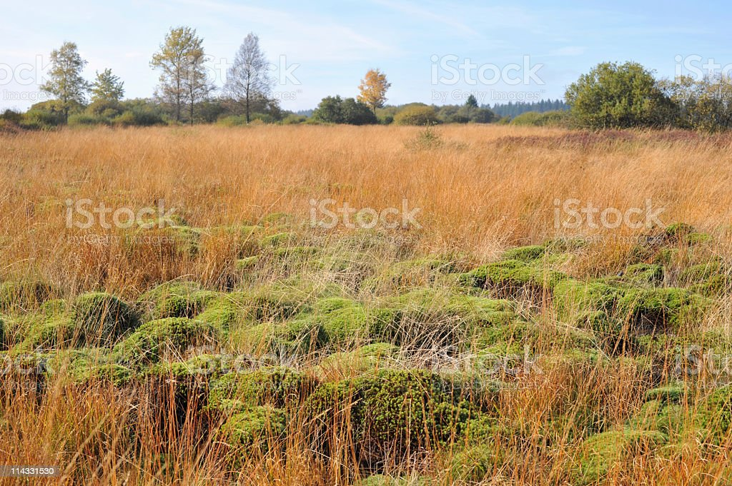 Wetland with sphagnum  mosses stock photo