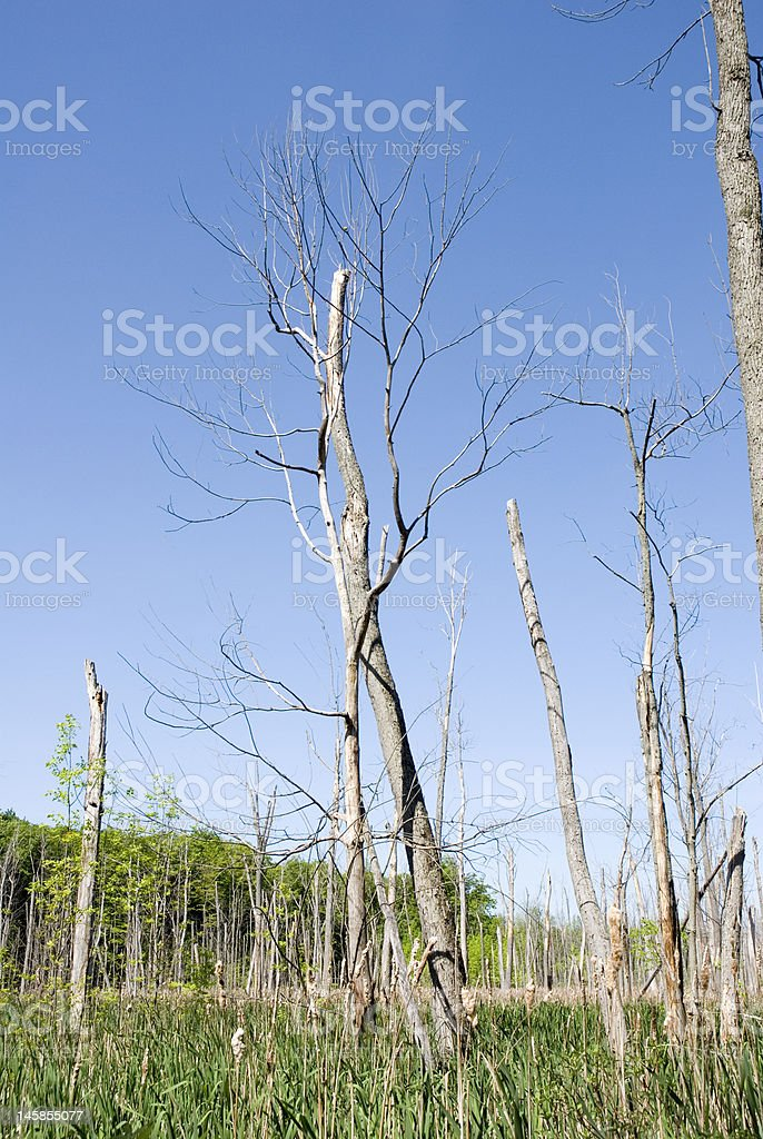 Wetland Woods royalty-free stock photo