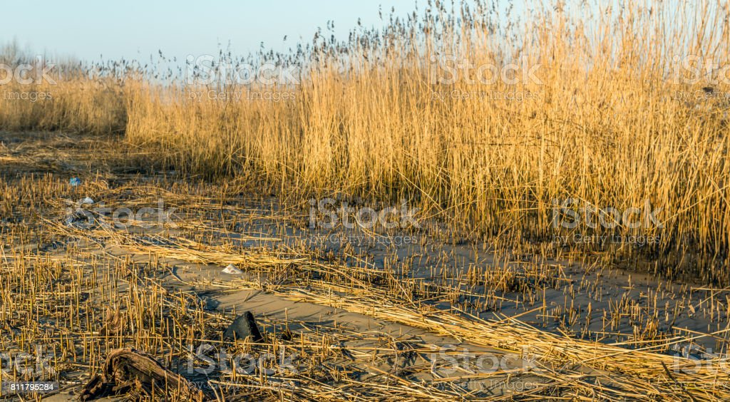 Wetlands after harvesting the reed by the reed cutter stock photo