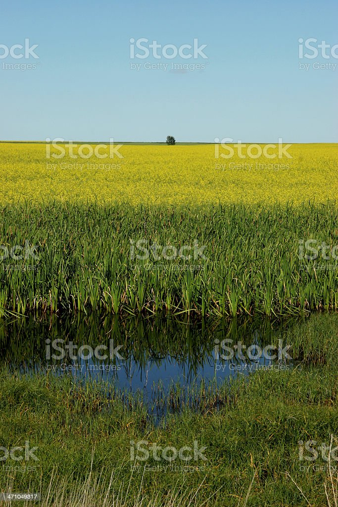 Wetlands and Canola On The Prairie royalty-free stock photo
