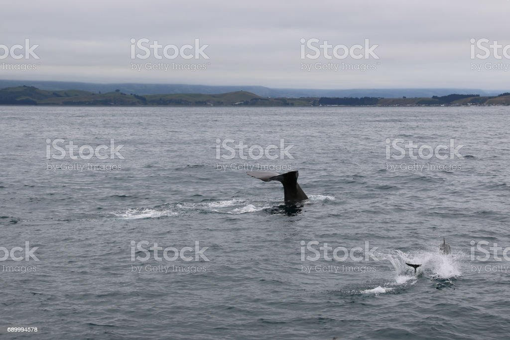Whale and dolphins together. Whale watching in Kaikoura, New Zealand stock photo